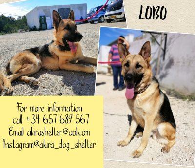 Lobo RESERVED
