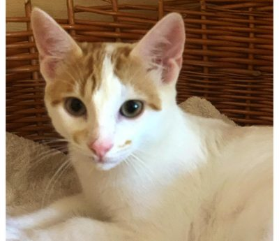 Enzo- kitten